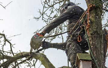 the process of removing dead wood from Brampton Ash trees